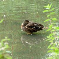 Levitating Duck